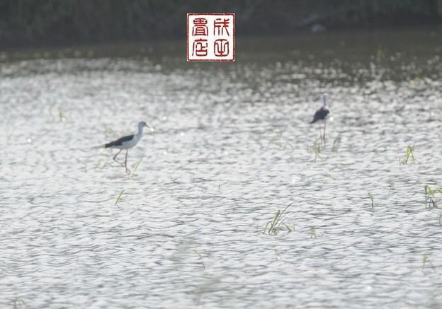 写真: セイタカシギ01