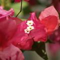Photos: 紅に咲く