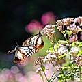 渡り蝶 アサギマダラ♪~