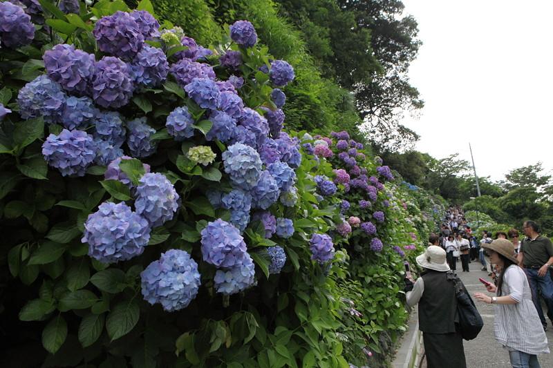 IMG_7077鎌倉_成就院・長谷寺のアジサイ