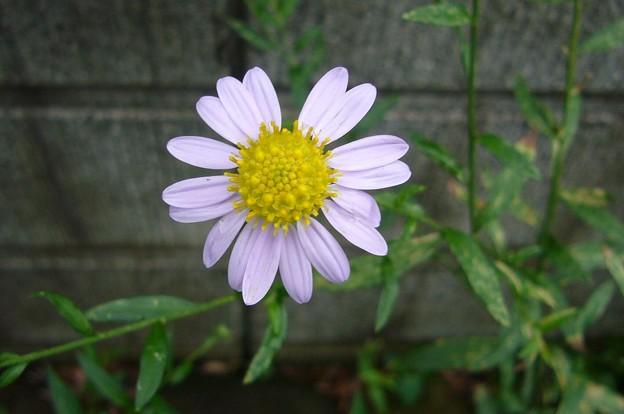 140710-5 薄紫の花