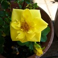 Photos: 140725-4 黄色いミニバラ