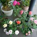 Photos: 140730-3 鉢植えのバラ達
