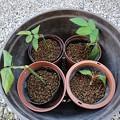 151106-3 赤玉土に植えたバラの挿し木(前回)