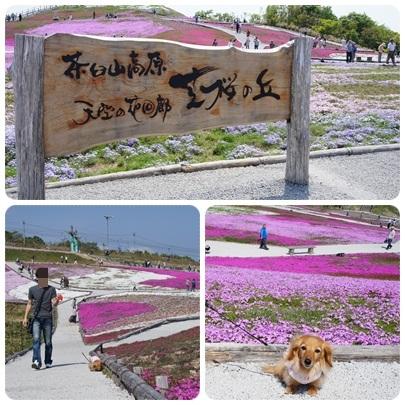 20120528 芝桜とJURI