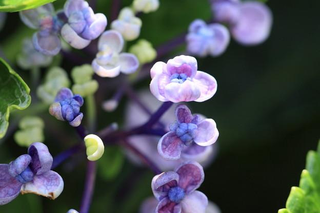紫陽花 おたふく まだ咲いていました(o^^o)♪