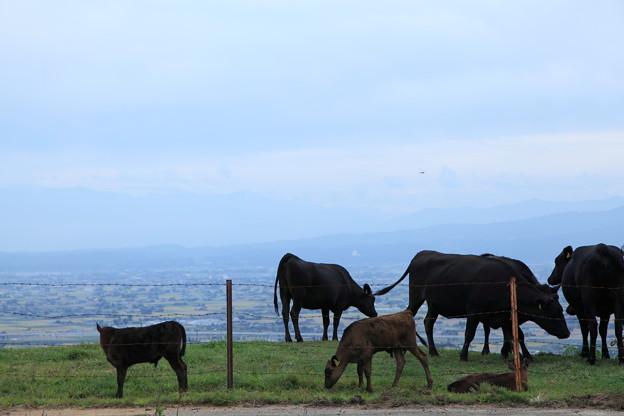立山連峰を背景に 牛さん、子牛も 長閑に