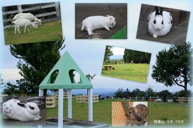 稲葉山 ヤギさん、ウサギさん