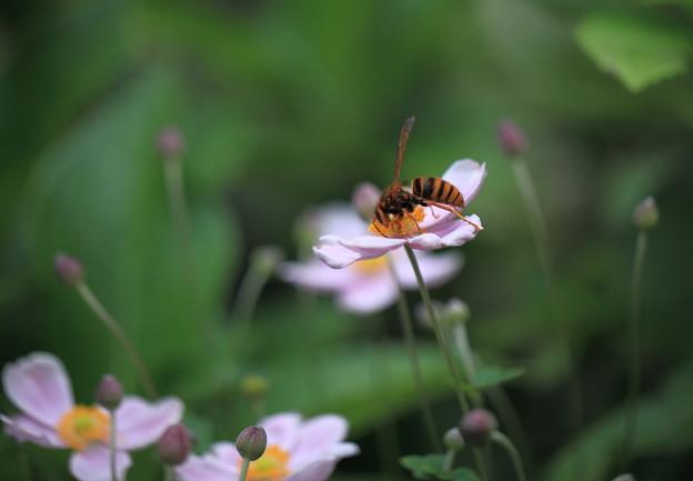 アシナガバチ    秋明菊(1)