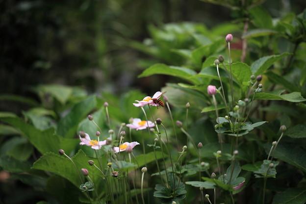 アシナガバチ 秋明菊(2)