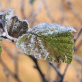 Photos: 紅葉と霜