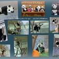 パンダの赤ちゃん 1歳の誕生日(ノ〃^▽^〃)ノ オメデトー♪