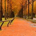 メタセコイアの並木道2
