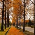 メタセコイアの並木道3