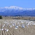 白山とコハクチョウとカラス
