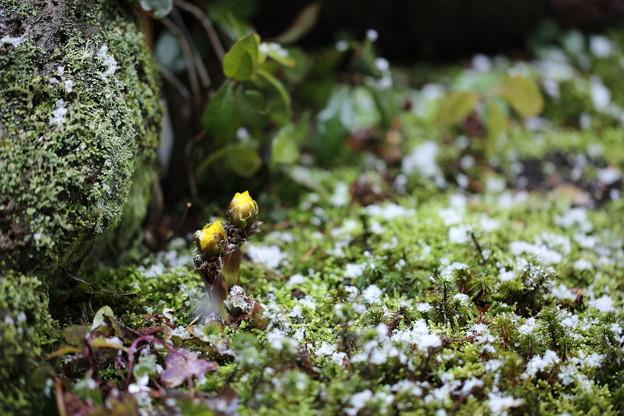 庭の苔と福寿草&Snow