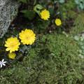 福寿草が開花(1)