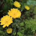 福寿草が開花(2)
