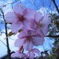 Photos: 河津桜(1)