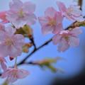 Photos: 河津桜(3)