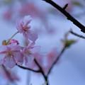 Photos: 河津桜(4)