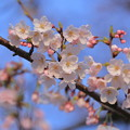 ソメイヨシノが開花(1)