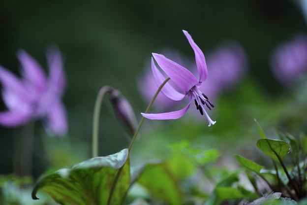 春の妖精 カタクリ(1)