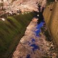 金沢城 ライトアップ お堀の桜(3)