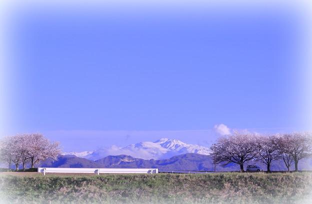 手取川 桜並木と白山