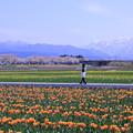 写真: チューリップ畑をお散歩