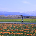 チューリップ畑をお散歩