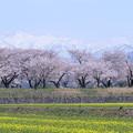 菜の花と桜並木 北アルプス(朝日岳、白馬岳、白馬朝日岳)