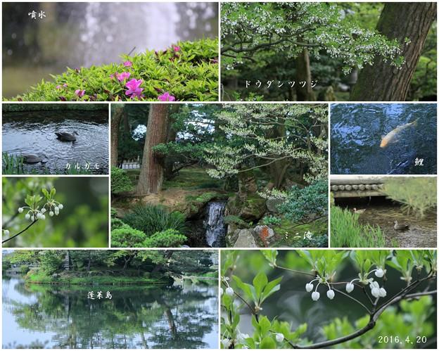 新緑の兼六園 ドウダンツツジの花