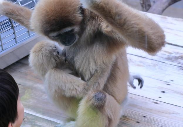 シロテナガザルの赤ちゃん