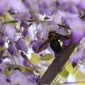 藤の花とクマバチ(1)