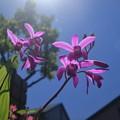 Photos: 青空と紫蘭