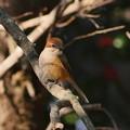P5580833-百舌鳥