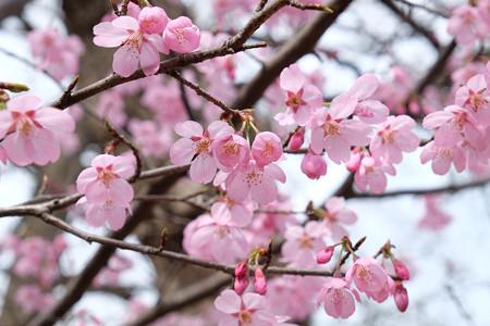 河津桜_2