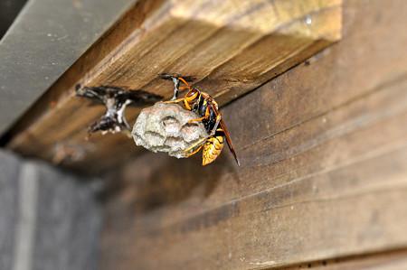アシナガ蜂20160421