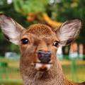 奈良の鹿 #1