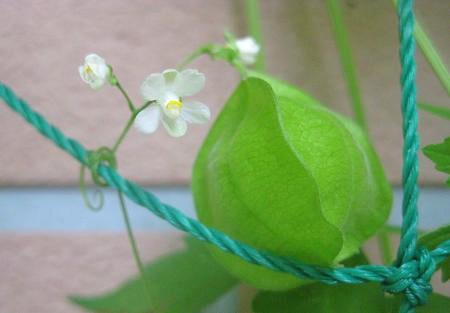 フウセンカズラの花と実