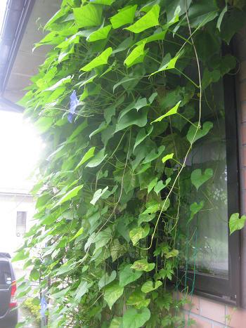 横から写したグリーンカーテン