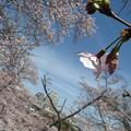 Photos: 桜とお城