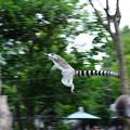 Photos: 輪尾狐猿