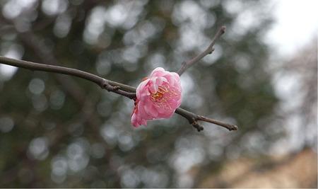 恵比寿咲き