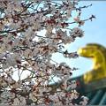 Photos: 右近の桜