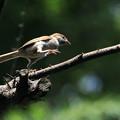 雀の若様、へっぴり腰