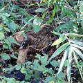 Photos: カラスを避け藪の中で食事会するオオタカ若