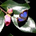 山茶花にムラサキシジミ