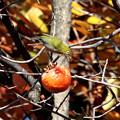 Photos: 柿を独り占めするメジロ